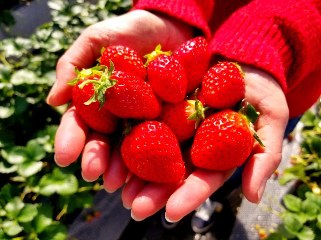 strawberry hunting